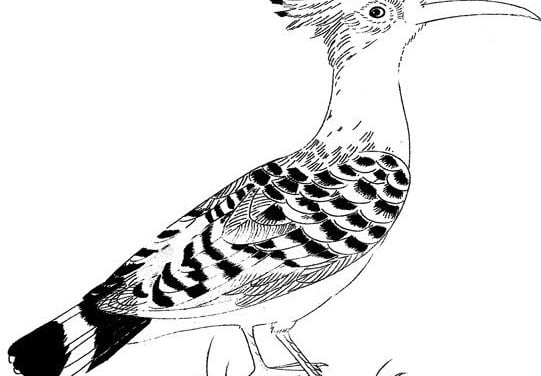 Coloring pages: Hoopoe