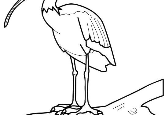 Coloring pages: Ibis