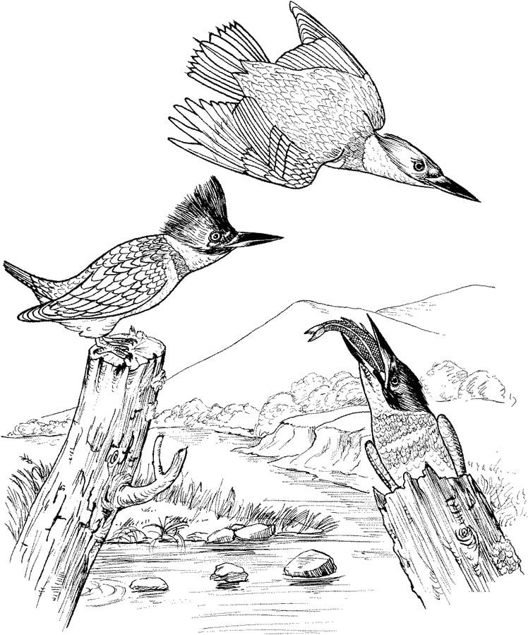 Kingfisher Animals Birds Coloring Pages