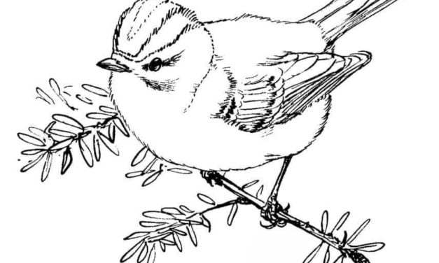 Coloring pages: Kinglets