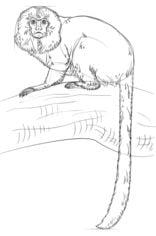 Tamaryna Nauka rysowania Zwierzęta