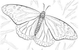 Motyl Nauka rysowania Zwierzęta