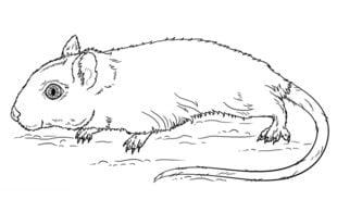 Myszoskoczek Nauka rysowania Zwierzęta